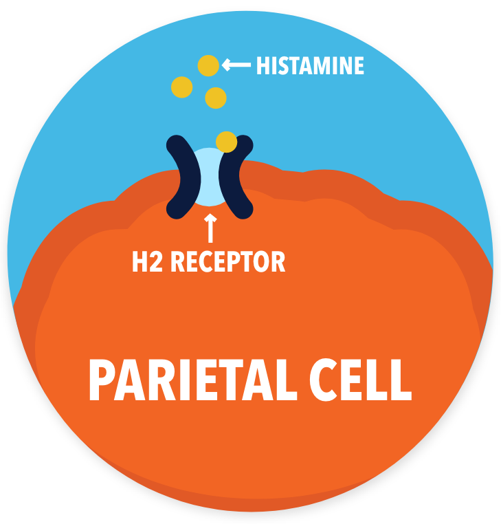 drawing of parietal cell with H2 receptor